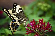 Saija  Lehtonen - Swallowtail Butterfly