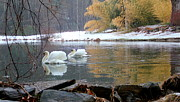 Swans In Winter Print by Chris Burke