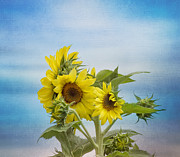 Sunflower Decor Prints - Swaying in the Breeze Print by Kim Hojnacki