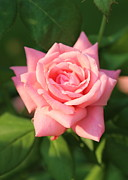 Sweet Pink Rose Print by Carol Groenen