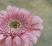 Flowers Gerbera Photos - Sweetness by Kim Hojnacki