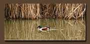 Matting Metal Prints - Swimming Among The Reeds Metal Print by Chris Anderson