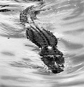Anthony Jones - Swimming Gator
