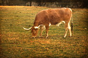 Evening Scenes Photos - Texas Longhorn by Terry Fleckney