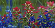 John Babis - Texas Wildflowers