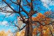 Texture Of The Bark. Old Oak Tree Print by Jenny Rainbow