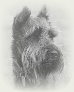 Schnauzer Art Photos - The Bearded One by Mickey Harkins