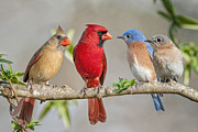 Neighbors Prints - The Bluebirds Meet the Redbirds Print by Bonnie Barry