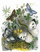 Flies Prints - The Butterfly Vivarium Print by English School
