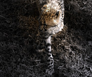Cheetah  Digital Art - The Catwalk  by Steven  Digman