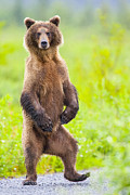 Hunt Acrylic Prints - The Dancing Bear Acrylic Print by Tim Grams