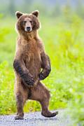 Tim Grams - The Dancing Bear