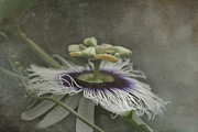 Passiflora Art - The Grace of Beginning by Sharon Mau