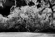Live Oak Digital Art - The Great Fairchild Oak by David Lee Thompson