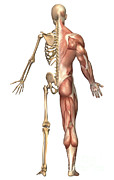 Muscular Digital Art Posters - The Human Skeleton And Muscular System Poster by Stocktrek Images