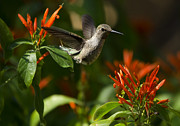 Saija  Lehtonen - The Hummingbird Hover