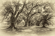 Evergreen Plantation Photo Framed Prints - The Lane sepia Framed Print by Steve Harrington