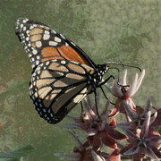 Bugs Digital Art - The Monarch Painterly by Ernie Echols