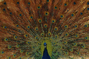 Peacock Digital Art Metal Prints - The Peacock Metal Print by Ernie Echols