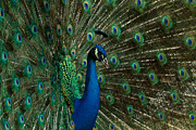 Color Framed Prints - The Peacock Framed Print by Susie Hoffpauir