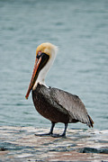 Hannes Cmarits Metal Prints - The Pelican Metal Print by Hannes Cmarits