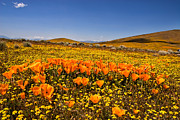 Flower Fields Framed Prints - The Poppy Fields - Antelope Valley Framed Print by Peter Tellone
