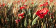 Hannes Cmarits - The poppy