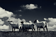 North Sea Prints - The sheep Print by Angela Doelling AD DESIGN Photo and PhotoArt