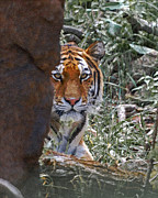 The Tiger Photo Metal Prints - The Tiger Metal Print by Ernie Echols