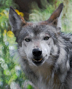 Mexican Grey Wolf Framed Prints - The Wolf 3 Framed Print by Ernie Echols