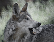 Grey Wolves Framed Prints - The Wolf 4 Framed Print by Ernie Echols