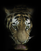 Wild Cat Prints - Thirst Print by Cheri McEachin