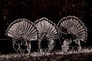 Turkey Jewelry Metal Prints - Three Fans Metal Print by Todd Hostetter