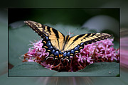 Erickson Framed Prints - Tiger Swallowtail Butterfly Framed Print by Roy Erickson