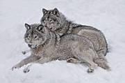 Wolf Pics Framed Prints - Timber Wolf Pair Framed Print by Wolves Only