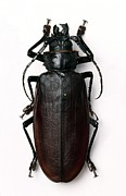 Science Photo Library - Titan beetle