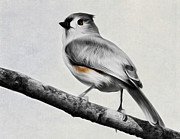 Selective Color Posters - Titmouse Poster by Bill  Wakeley