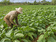 Laboring Prints - Tobacco Farmer Vinales Cuba Print by David Litschel
