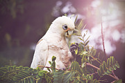 Cockatoo Metal Prints - Tree Dweller Metal Print by Kym Clarke