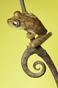 Frog Metal Prints - Tree Frog On Twig In Background Copyspace Metal Print by Dirk Ercken