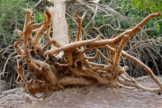 Michael Braham - Tree Root Growing in Ein...