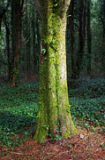 Moss Green Posters - Tree Trunk Poster by Carlos Caetano