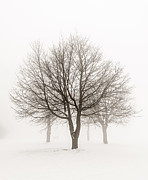 Snowy Trees Posters - Trees in winter fog Poster by Elena Elisseeva