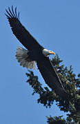 Pictures Photo Originals - Treetop Eagle by Brent Easley