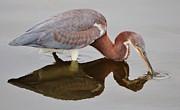 Paulette  Thomas - Tri-Colored Heron