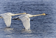 White River Digital Art - Trumpeter Swans by Al  Mueller