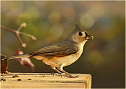 Birdseed Art - Tufted Titmouse by Debbie Portwood