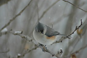 Tufted Titmouse Print by Leia Burt