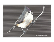 Titmouse Drawings - Tufted Titmouse by Paul Shafranski