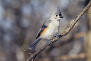 Small Birds Framed Prints - Tufted Titmouse Framed Print by Todd Bielby
